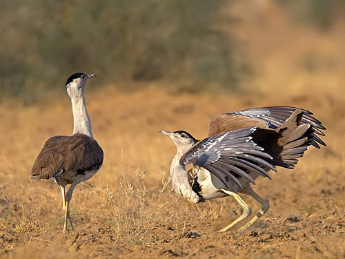 Great Indian Bustard Sanctuary, Kutch